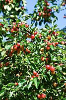 Crabapple fruits Malus sp..