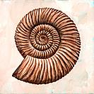 Perisphinctes ammonite. Artwork of a fossil of a Perisphinctes ammonite, showing the spiral structure of the ammonite´s shell. Ammonites were marine m...