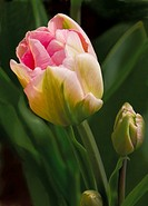 Close_up on pink tulip flower