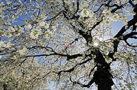 Germany, Bavaria, Cherry tree blossom