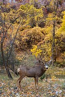 USA, Utah, Zion National Park, Mule deer Ocodoileus hemionus at Zion Canyon