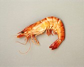 Single shrimp on gray background