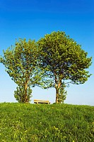 Bench between two Red Beech fagus sylvatica trees on meadow