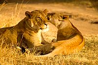 Lions resting on grass