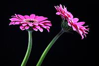 Pink gerbera flowers on black background