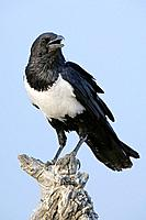 Pied crow Corvus albus. Crows are omnivorous birds. This crow is found throughout sub_Saharan Africa, in open country with scattered trees. It feeds o...
