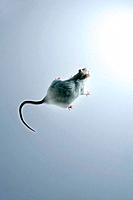 Laboratory rat. Albino brown rat Rattus norvegicus. This breed of rat is widely used in medical and other scientific experiments.