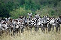 Zebras Equus sp.. Zebras are wild horses that inhabit the savannahs of Africa and graze primarily on grasses. They are social animals that live in sma...