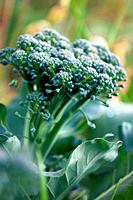 Growing Broccoli. Brassica oleracea. May 2007, Maryland, USA