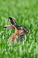European brown hare, Brown hare, Lepus europaeus, Germany