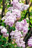 Lilac in Bloom. Syringa vulgaris. April 2007, Maryland, USA