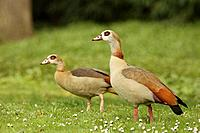 Egyptian Geese, Alopochen aegyptiacus, Germany