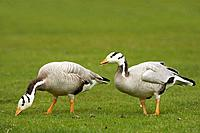 Bar-headed Geese, Anser indicus, Germany