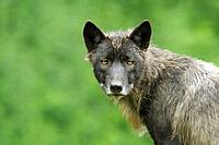 Timber Wolf Canis lupus