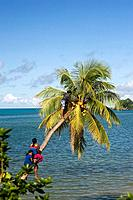 Fijian children climbing a coconut palm tree to collect coconuts, Taveuni, Fiji Islands, Oceania