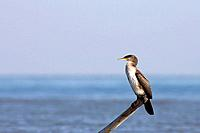 Great cormorant (Phalacrocorax carbo) by seashore. Ebro river delta, Tarragona province, Catalonia, Spain