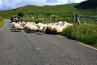 Lauragh, County Kerry, Ireland, Flock of sheep on roadside