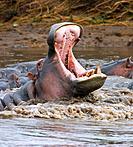Yawning hippopotamus Hippopotamus amphibius at Serengeti National Park, Tanzania