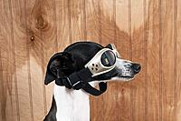 Italian greyhound wearing goggles