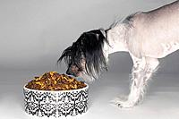 Chinese crested dog examining pet food