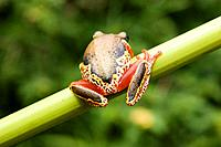 African Tree Frog Red, Yellow, & Brown, Malawi