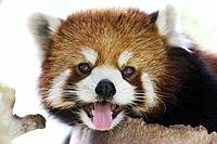 Red Chinese Panda Bear. Canada