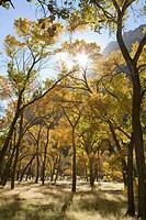 USA, Utah, Zion National Park, Fremont cottonwood trees, Populus fremontii