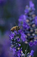 Close_up of bumblebee on lavender flower