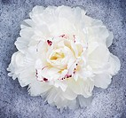 White Peony flower blossom, close up, studio shot