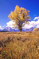 USA, Wyoming, Jackson, Grand Teton National Park, Cottonwood Tree