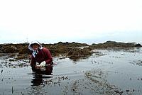 Woman harvesting seaweed, Hamaogi, Chiba, Japan