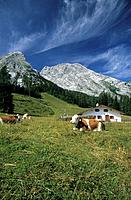 cows on alpine pasture with alpine hut of Kuehrointalm and summit of Watzmann in background, Berchtesgaden range, Upper Bavaria, Bavaria, Germany