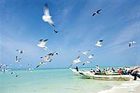 Fishermen unloading their catch, flock of seagulls, Celestun, Yucatan Peninsula, Mexico