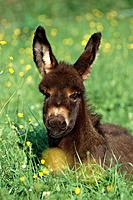 Young donkey, foal, Equus Asinus in a meadow