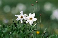 Narcissus, Apennines, Monti Sibillini National Park, Italy