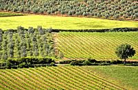 Vineyards and olive trees near Abbadia San Antimo, Tuscany, Italy