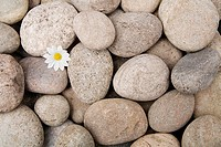 Daisy growing from pebbles