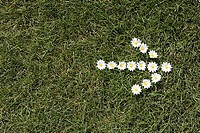 Daisies in the shape of an arrow