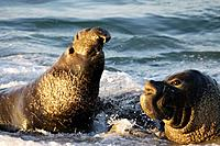 Bull Elephant Seals fight for territory on San Simeon Beach, California, USA