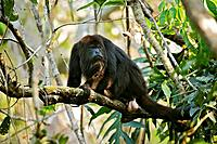 Guatemalan Black Howler (Alouatta pigra), Community Baboon Sanctuary, Bermudian Landing, Belize