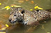 Jaguar Panthera onca, Belize