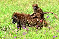 Baby chacma baboon rigin on adults back in Lake Nakuru National Park, Kenya