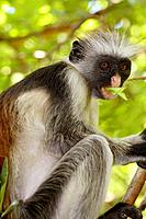Zanzibar Red Colobus Monkey feeding in the Jozani Forest, Tanzania
