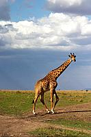 Massai giraffe in the Masaii Mara in Kenya