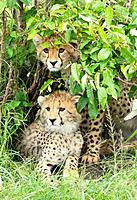 Young cheetah cubs on the plains in the Masai Mara, Kenya