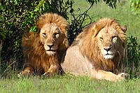 Two Male lions relaxing on the plains of the Masai Mara, Kenya