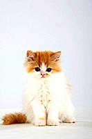 Persian Cat, kitten
