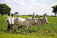 Two oxen and farmers ploughing a field, Tamil Nadu, India Date: 15/05/2008 Ref: ZB362_115569_0077 COMPULSORY CREDIT: World Pictures/Photoshot