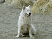 Samoyed sitting on the beach