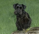Schnauzer sitting on a tree stump